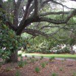 Beautiful Southern Mature Tree